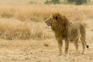 Männlicher Löwe in der Savanne Afrikas