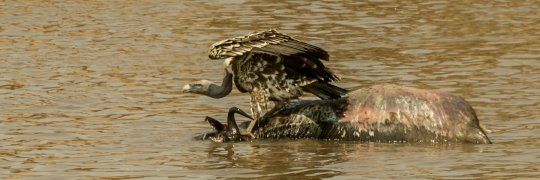 Geier auf totem Gnu im Mara-River