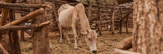 Hungernde Kuh