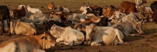 Rinder der Massai