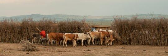 Massai-Junge mit Rindern