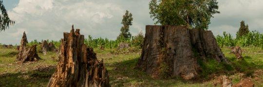 Traurige Reste des Mau-Waldes